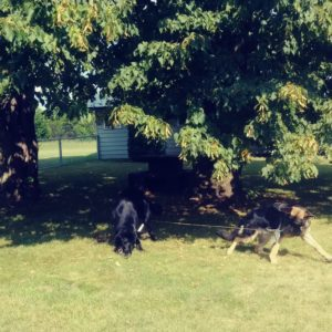 Two dogs enjoy the large fenced yard at RiverRock.