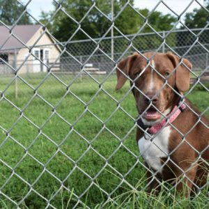 Photo by Missy Schrott - Mindy, a puppy under one year old, sits in her outdoor kennel space.