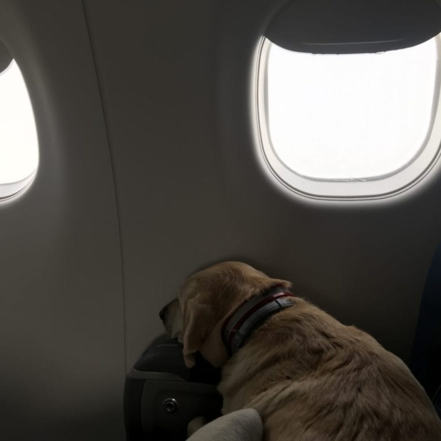 canine-review-nellie-lga-sav-flying