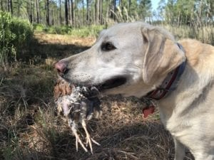 The Canine Review: Nellie on Day 2 of Quail Hunting at Broadfield Plantation, showing off her latest catch
