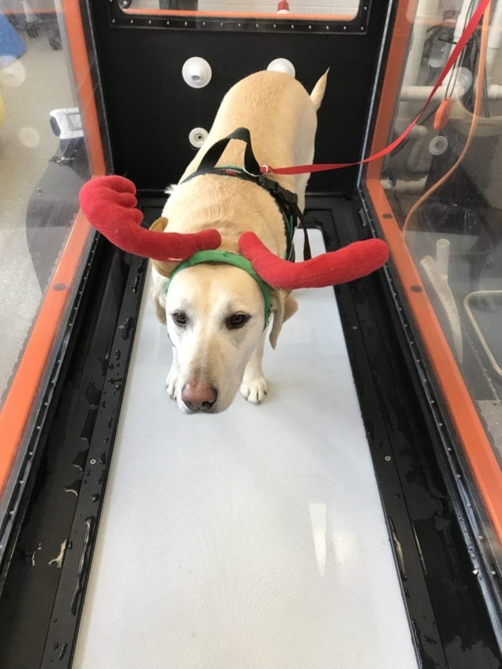 nellie-treadmill-antlers-christmas-canine-review02