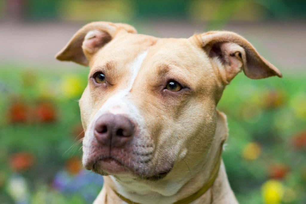 Denver voters overturn 31 year-old pitbull ban in favor of 'breed-restricted permitting process'