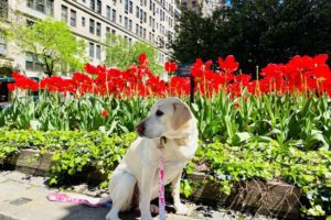 canine-review-nellie-park-avenue-may-2020-tulips2