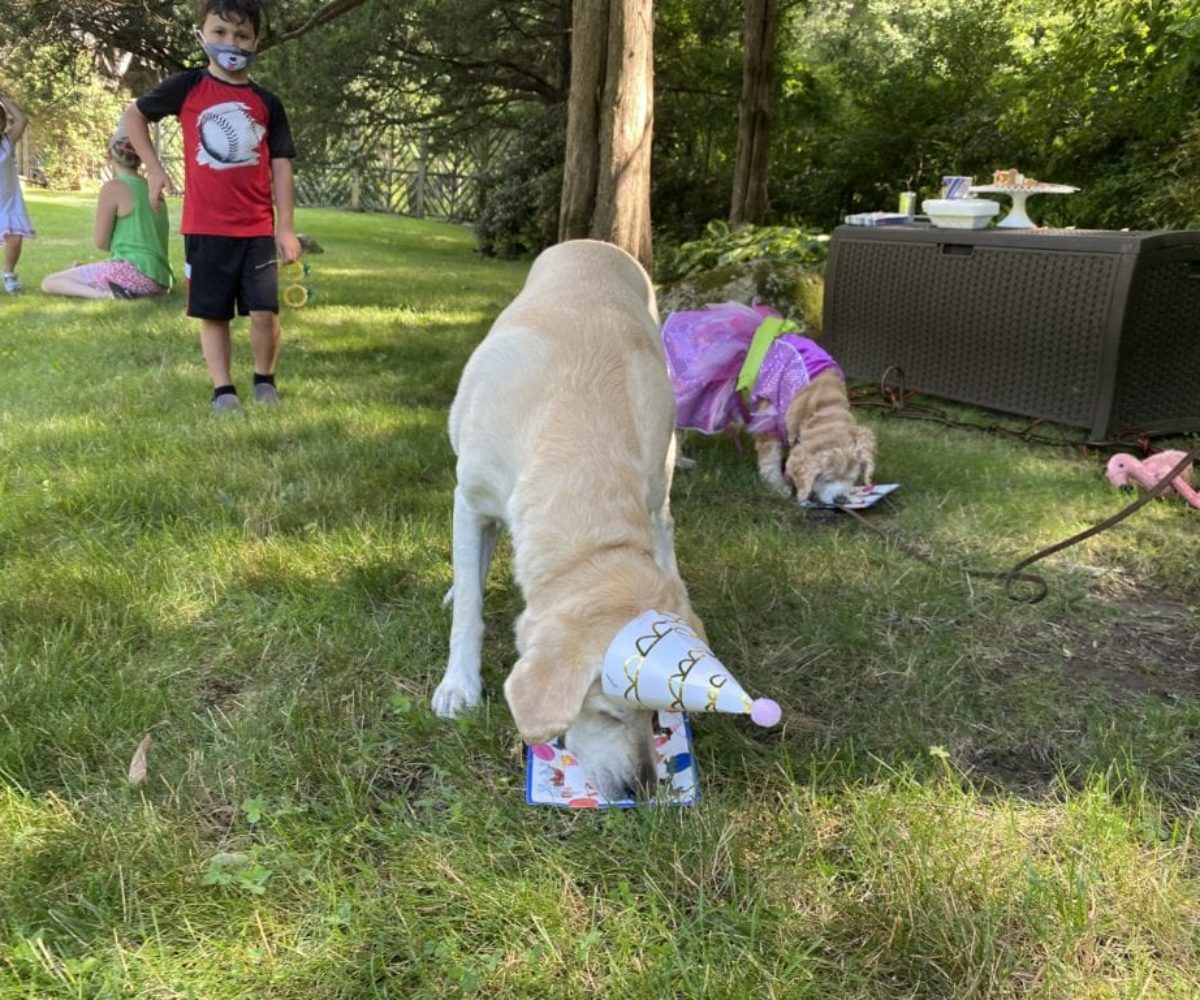dog birthday party july 2020 nellie focused on cake