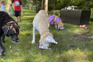 dog birthday party july 2020 rocky boldly approaching nellie and cake