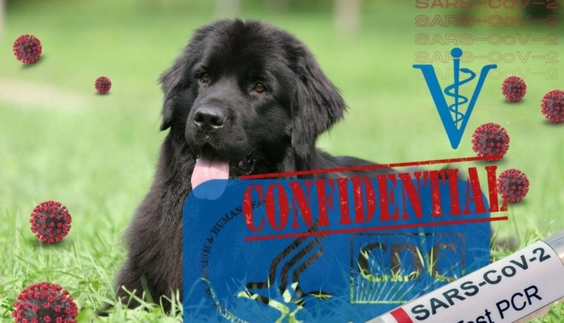 Newfoundland, 8, in North Carolina among CDC investigations into COVID pets that died